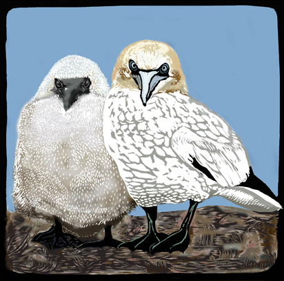 gannet and chick